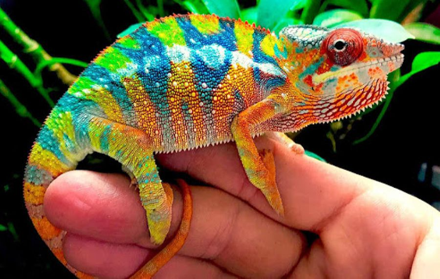 Chameleons can change colors, so keep an eye on yours