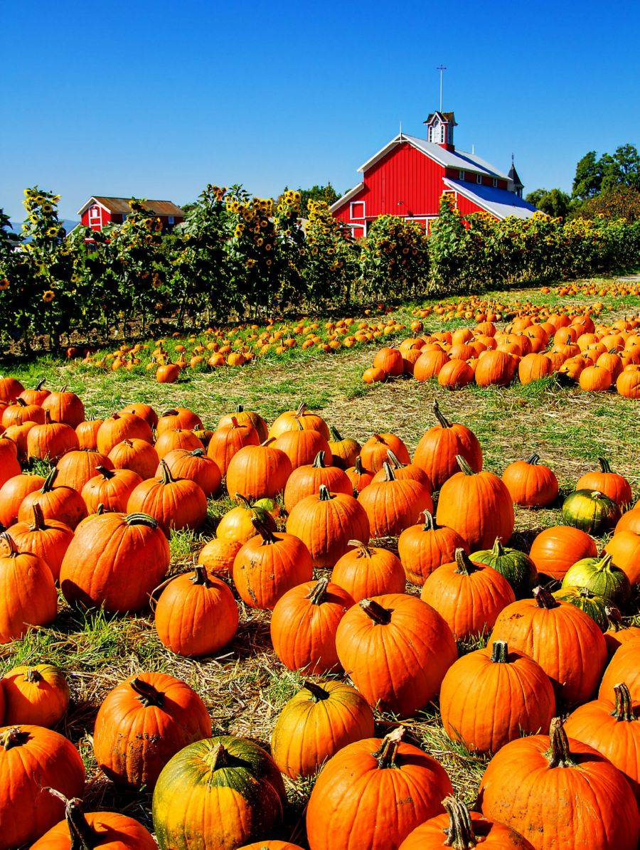 Pumpkin patches are a wonderful business idea for countryside residents