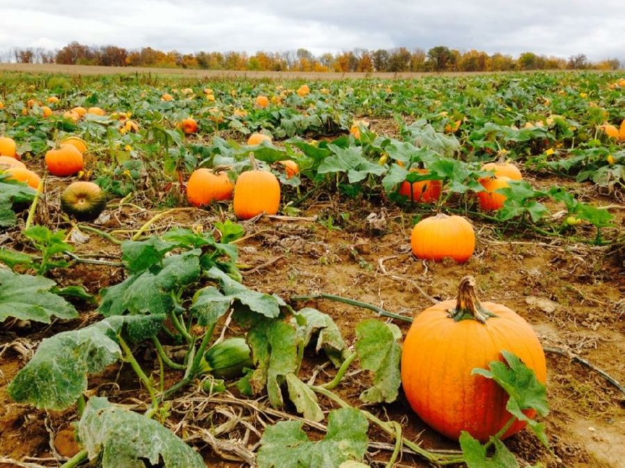 The amount of land you need depends on your pumpkin type